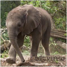Baby elephant Tjino
