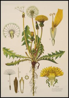 Taraxacum officinale - the dandelion - Haslinger Botanische Wandtafeln via Scientific Illustration