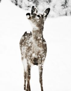 Sweet deer in the first snow of the season enjoying every minute Beautiful Creatures, Animals Beautiful, Cute Animals, I Love Winter, Winter White, Snow Scenes, Winter Scenes, Winter's Tale, Tier Fotos
