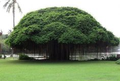 A sort of a giant ficus Filipino. In nature - an evergreen tree or shrub, up to 4 meters in height.