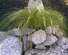 """Lomandra Affinis Cylindrica """"Lime Cascade"""";  bright, fine, lime green foliage, which forms an elegant weeping grass clump; bright yellow flowers spring and summer; tolerant of drought and frost and prefers well drained soil in a sunny to partly shaded position. Height: 0.7m Width: 0.7m"""