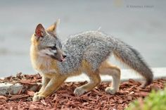 Facebook staff rally around foxes and earn a Certified Wildlife Habitat!: