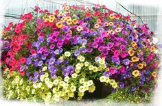 Calibrachoa is my new favorite basket flower!! Not only is is beautiful, but they resist the nasty budworms that love petunias!