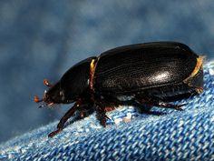 Escarabajo Rosarigasino