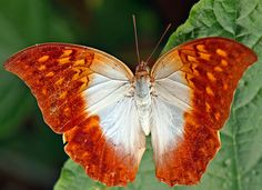The Karkloof Emperor or Pearl Emperor (Charaxes varanes) is a butterfly of the family Nymphalidae, found in Africa from Saudi Arabia to South Africa - Jeanette Haygood.