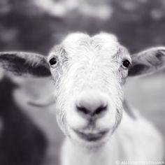 Goat Art Print  Animal Photography Print  Cute by NatureMandalas, $25.00