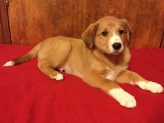 Aspen is a darling Pyrenees/Golden/Lab mix. He and his litter mates will be big dogs as adults. They are very social and sweet!They are 8 weeks old and will be available for adoption on Sat. Jan. 18th.  WE ARE ACCEPTING APPLICATIONS ON LINE BUT WILL...