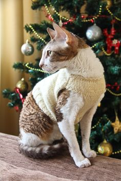 cornish rex in knitted cardigan for Christmas
