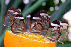 glasswing+butterfly.jpg (1024×683)