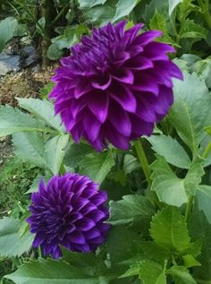 Purple Dahlia, Dahlia Flower, Purple Flowers, Unusual Flowers, Beautiful Flowers, Container Plants, Container Gardening, Garden Plants, House Plants