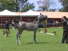 bay going grey yearling - Google Search
