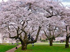 UW Cherry Blossoms | Spring 2014 (Photo by Robyn Pfeifer)