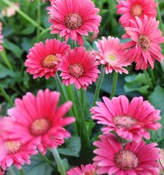 105 best spring flowers from the barn nursery chattanooga tn gerber daisies colorful and welcome in the springtime great in containers gerber daisies spring flowersspring mightylinksfo