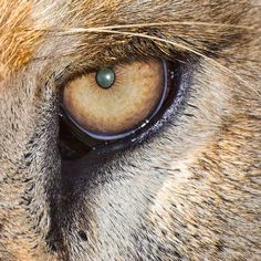 lion eye | Close up of Lion Eye | Flickr - Photo Sharing!