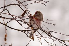 Common Redpoll (finch family) eating berries along the Centennial Trail, Lake Coeur d' Alene. January 2016.