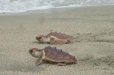 Liberación de #tortugas marinas en las playas de #SantaMarta #freedom #ocean #underwater #dive #travel #nature #Colombia # #PlanetEarth