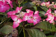 As well as having dark leaves, Hydrangea macrophylla bears lacecaps with large sterile florets. Pink in low aluminium soils.