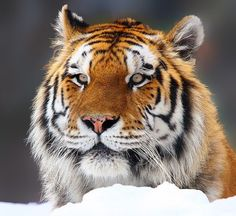 beautiful-wildlife:  Snow TigerbyJohn Larson