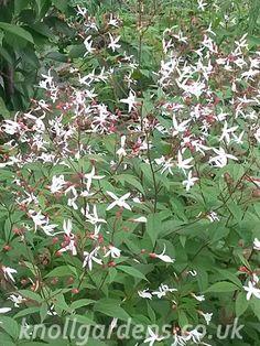 Gillenia trifoliata   Knoll Gardens   Ornamental Grasses and Flowering…