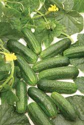 Diamant Pickling Cucumber-47 days