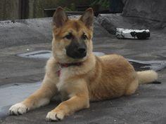 Gallery For > Shiba Inu German Shepherd Mix