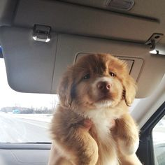 On his first car ride home. - Imgur ~ NOT SURE OF THE BREED BUT SO, SO CUTE ~