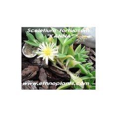 planta suculenta, kanna o sceletiumù tortuosum, planta etnobotanica y chamanica para crecer. #suculentas #flores #plantar #cactus