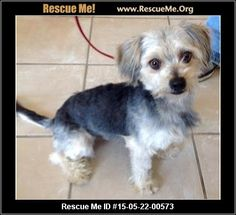 Rescue Me ID: 15-05-22-00573Chevy (male)  Maltese Mix  Age: Young Adult  Compatibility:Good with Most Dogs, Good with Kids and Adults Personality:Average Energy, Somewhat Dominant Health:Neutered, Vaccinations Current   Adoption Fee: $300Animal Location:  Pee Wee's Pals Animal Rescue 3018 North 16th Street Maricopa County Phoenix, AZ 85016 MAP IT!  Contact: TEXT Anne (602)721-3497 for DOGS ; TEXT Julie (480)568-9121 for CATS   Facebook:Email to…