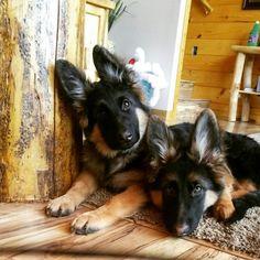 Long hair German Shepherd puppies. #germanshepherd
