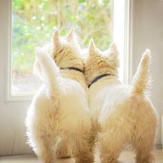 From Westie Terrier in Fb West Highland Terrier, Highlands Terrier, Westies, Westie Dog, Chihuahua Dogs, Pet Dogs, Scottie Dogs, Cute Puppies, Dogs And Puppies