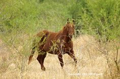 Cowboy Horse, King Ranch, Kingsville, Texas