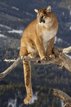 Mountain Lion on Branch