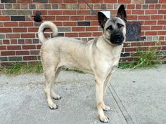 Brooklyn Center  LUCAS - A1014177  NEUTERED MALE, TAN / BLACK, AKITA MIX, 1 yr STRAY - STRAY WAIT, NO HOLD Reason STRAY  Intake condition EXAM REQ Intake Date 09/15/2014, From NY 11105, DueOut Date 09/18/2014,      https://www.facebook.com/photo.php?fbid=874635485882665