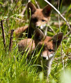 Fox cubs (by Steve Liptrot Photography)