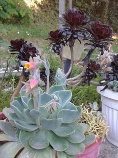 Echeveria with Aeonium and ... #succulents #Echeveria #Aeonium #garden