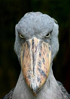 Shoebill Stork. Photo by Avi Abrams I'm not angry. I look this way all the time.