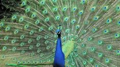 5 Unusual Facts About Peacocks