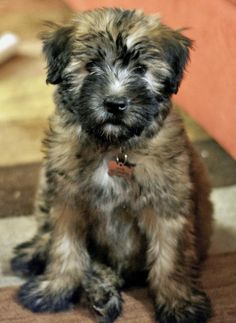 Soft-coated Wheaten Terrier puppy. I want.