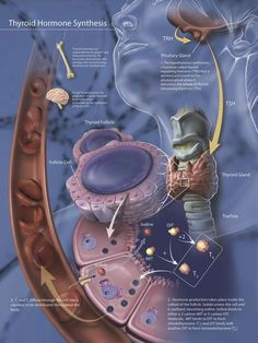 Thyroid Hormone Synthesis and release by parafollicular cells of the thyroid gland. Thyroid Gland, Thyroid Hormone, Science Biology, Medical Science, Medical Anatomy, Human Anatomy And Physiology, Endocrine System, Endocrine Hormones, Medical Information