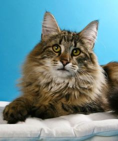 Norwegian Forest Cat  Good Fit For: These fluffballs are known for being adaptable and tolerant. This attitude gives them a stress-free demeanor and a good amount of curiosity. Norwegian Forest Cats are great felines for folks who don't mind a bit of grooming, have young children or are looking to become a first-time cat owner.