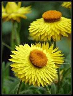 Lemon Yellow Strawflowers
