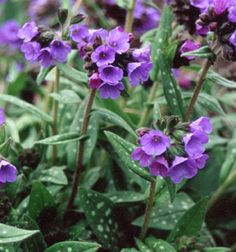Lungwort (Pulmonaria) is a great woodland garden plant, with spotted leaves and flowers that vary from purples to blues to pinks.