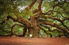 Angel Oak Tree #Charleston