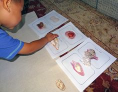 Shell activities for kids - ordering, sorting, examining, and experiencing them…