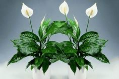 Flower spathiphyllum: rules of care at home Saintpaulia, Colorful Succulents, Small Farm, Pretty Flowers, Houseplants, Feng Shui, Gardening Tips, House Colors, Hibiscus