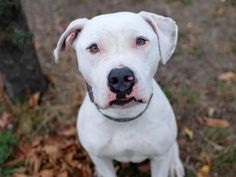 """SAFE !  11/17/13 Manhattan Center -P  ETHAN  #A0984615 Neutered male white & brown pit bull mix 3 YRS   STRAY 11/10/13  Good Samaritan brought Ethan to shelter & writes """"Very friendly, playful, loving, listens to all commands. Very sweet and loving dog."""" He's a shelter favorite! Enjoys playing ball, likely house trained. Likes kids/ people/ dogs. ACED HIS BEHAVIOR EXAM! This is a no brainer! Such a great pup! Don't pass him up- you can't go wrong w/ this boy!"""