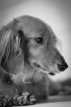 That dachshund look you can't describe yet can't resist.