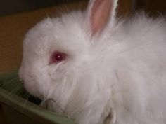 Ava is a beautiful, 7yo Jersey Wooly rabbit. She is an absolute sweetheart & is looking for a home with someone that would love to spend their days cuddled up with her or watching her roaming around out her cage. She happily greets everyone at the front of her cage and would do the same for you every morning! #fluffy #bunny #rabbit #cute #pets #adopt