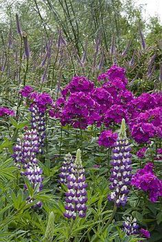 phlox,lupin and veronica <3 Schoolhouse Country Gardens