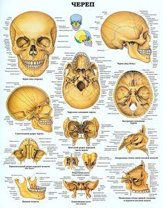 Anatomy Drawing Medical The Human Skull Anatomical Chart - Anatomy Study, Body Anatomy, Anatomy Drawing, Anatomy Reference, Brain Anatomy, Pose Reference, Human Skull Anatomy, Human Anatomy And Physiology, Human Anatomy Chart